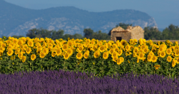 Lavender-sunflowers72