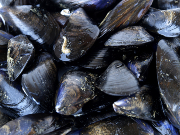 Mussels72