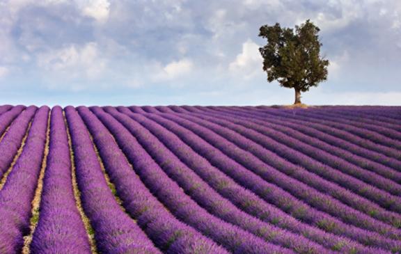 Lavenderfields72
